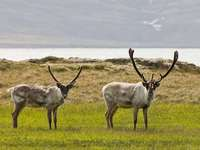 Animais da Islândia