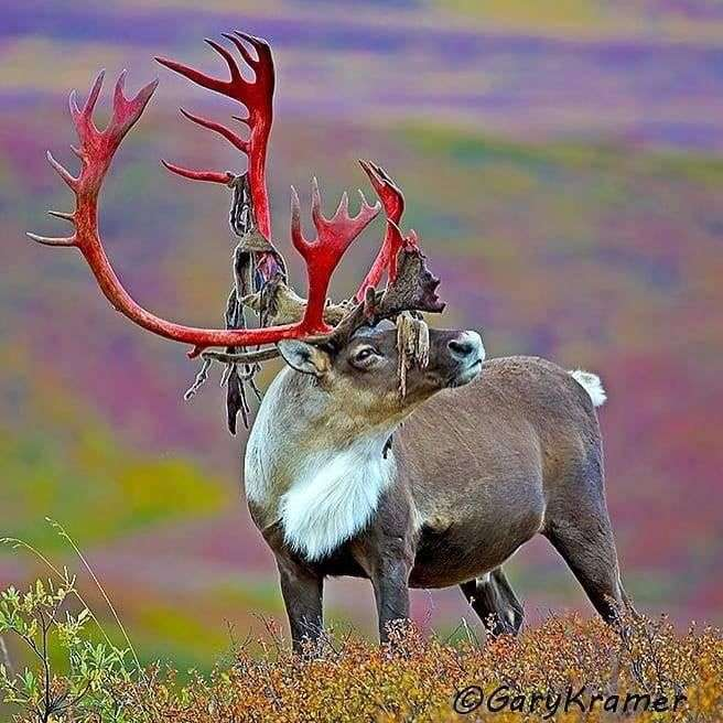 Islandia animal - m (10×10)