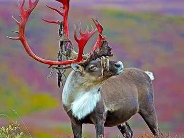 Islandia animal - m .....................