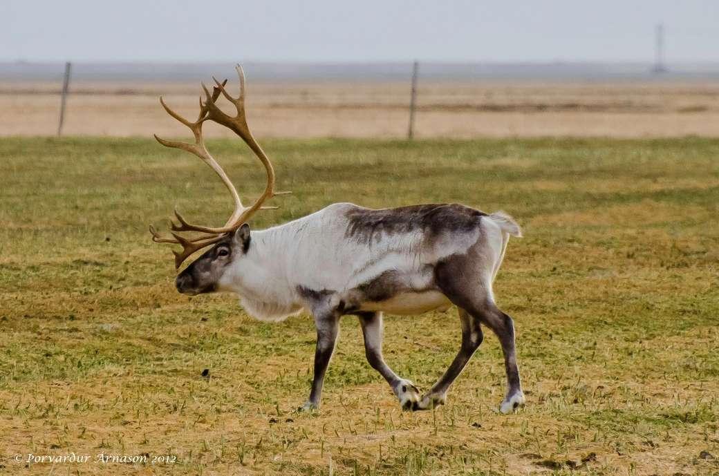 Islandia animal - m (10×7)