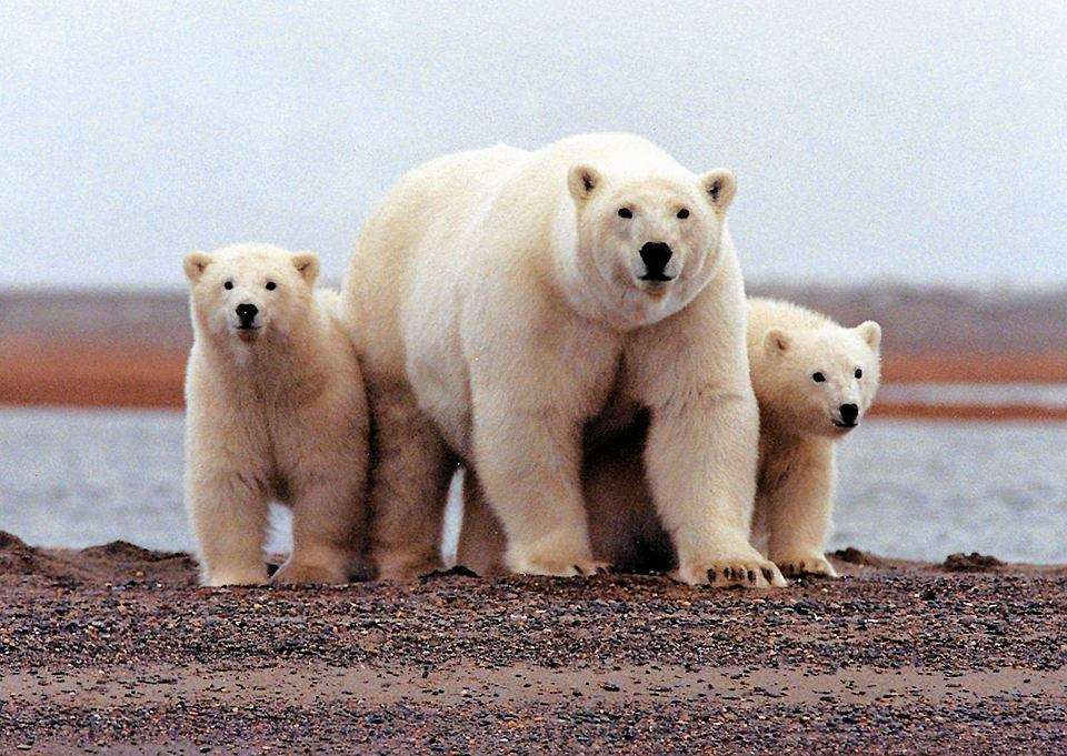 osos polares - m (11×8)