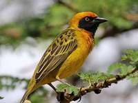 Geschilde draad - Merel (Malimbus spekei) - een soort kleine vogel uit de familie Wikliidae (Ploceidae). Het komt voor