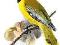 Abyssinian oriole - Abyssinian oriole (Oriolus monacha) - a species of bird from the Oriolidae family. The natural envir