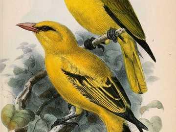 Oropéndola de alas negras - Oriol de alas negras (Oriolus nigripennis) - una especie de ave de la familia Oriolidae. Su hábitat