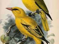 Black-winged oriole - Black-winged oriole (Oriolus nigripennis) - a species of bird from the Oriolidae family. Their natur