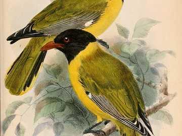 Orfanato encapuchado - Oriol encapuchado (Oriolus brachyrynchus): una especie de ave de la familia Oriolidae, que se encuen