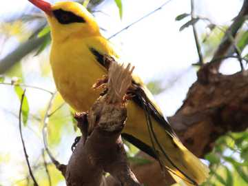 Oriole de ouro - Golden Oriole (Oriolus auratus) - uma espécie de ave da família Oriolidae.