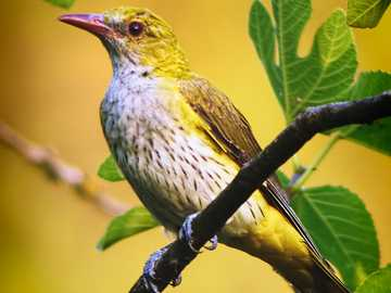 Közönséges oriol - Oriole, oriole [4] (Oriolus oriolus) - az Oriolidae családba tartozó vándorló közepes madárfaj