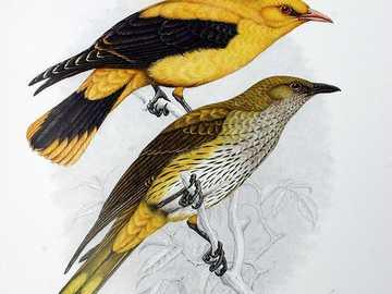 Oropéndola común - Oropéndola, oropéndola [4] (Oriolus oriolus) - especie de ave migratoria mediana de la familia Ori