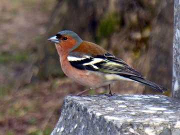 Pinzón común - Pinzón común, pinzón [3] (Fringilla coelebs) - una especie de ave pequeña de la familia de los p