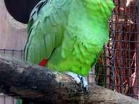 Amazon-Variable - Amazonasvariable [4] (Amazona autumnalis) - eine mittelgroße Vogelart aus der Papageienfamilie (Psi
