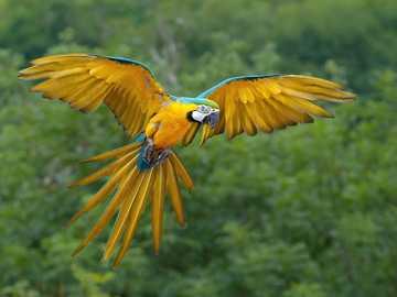 Ara ararauna - Ara ararauna, ararauna [4] (Ara ararauna) - uma espécie de ave grande da família dos papagaios (Ps