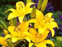 Yellow lily. - YELLOW ASIAN LILY.