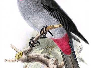Micose - Micose [3] (Lipaugus streptophorus) - uma espécie de ave de tamanho médio da família centáurea (