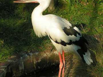 Cegonha-de-bico-azul - Cegonha-de-bico-azul [4] (Ciconia maguari) - uma espécie de ave grande da família da cegonha (Cico