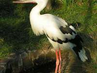 Blue-billed stork - Blue-billed stork. Blue-billed stork [4] (Ciconia maguari) - a species of large bird from the stork