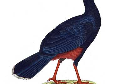 Grande corcunda - O grande humanóide [3] (Mitu mitu) - uma espécie de ave grande da família das galinholas (Cracida