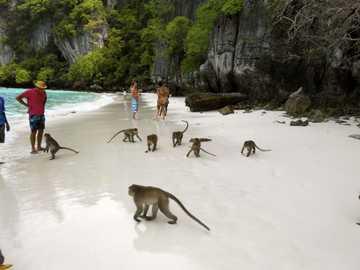 маймуни на плажа - м ..............................