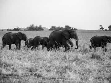 Hnutí - skupina chodících slonů. Národní park Kidepo Valley, Uganda