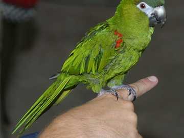 Epaulette - Epaulette [4], Epaulette arara, arara-vermelha [5] (Diopsittaca nobilis) - uma espécie de ave de ta