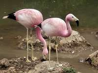 Andean flamingo - Andean flamingo [4], Andean flamingo (Phoenicoparrus andinus) - a species of large wading bird from