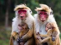 starostlivé opice