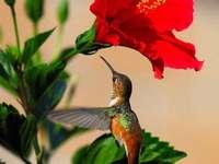 fiore rosso con un colibrì