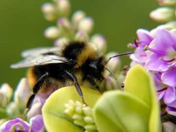 Háziméh - Méh, virágok, zöld, színes