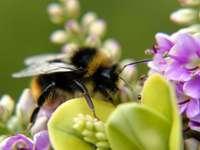 Медна пчела