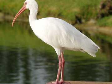 Íbis branco - White ibis [4] (Eudocimus albus) - uma espécie de grande pássaro da família ibis (Threskiornithid