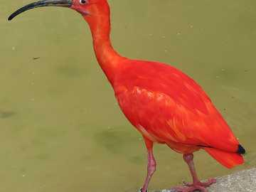 Scarlet ibis - Scarlet ibis [4] (Eudocimus ruber) - uma espécie de grande pássaro da família ibis (Threskiornith