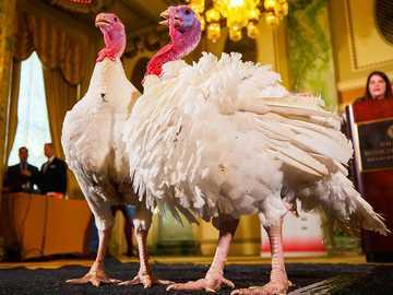 American turkeys - m ................................