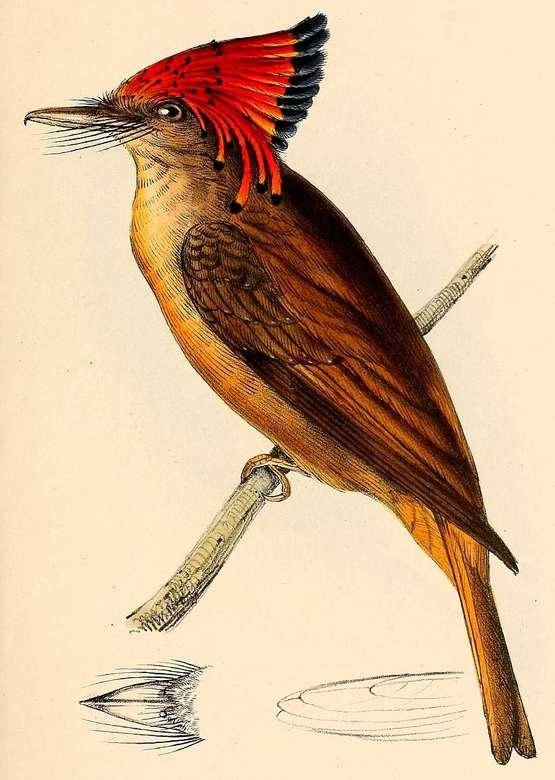 Rainha (pássaro) quebra-cabeça