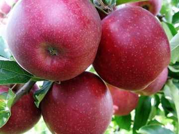 a macieira - maçã, vermelho, outono, folhas