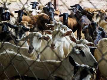 A Kerítés mögött - kecske állomány a mezőn. Maracay, Aragua, Venezuela