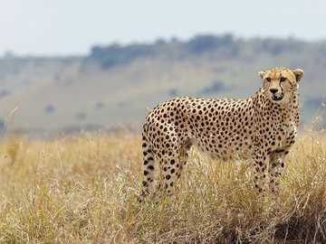 Gepárd Afrikában - Gyönyörű gepárd Afrikában.