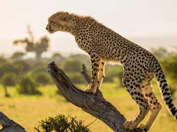 Gepárd néz - Gyönyörű gepárd néz