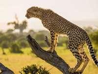 Vizionarea ghepardului