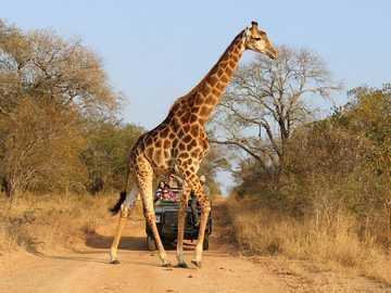 Zsiráf sétál - Zsiráf sétál Afrikában