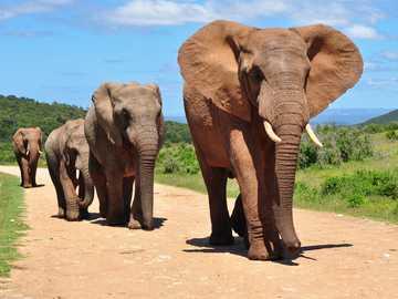 Elefántok - Gyönyörű elefántok sétálnak