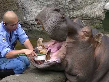brushing the teeth of a hippo - m ........................