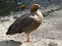 Red-headed magelanka - Red-headed magelanka (Chloephaga rubidiceps) - a species of bird from the family of ducklings (Anati