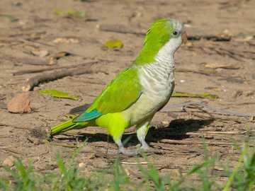 Szerzetes ..... - Mnicha [5] (Myiopsitta monachus) - a papagájfélék (Psittacidae) közepes nagyságú madara, Dél-