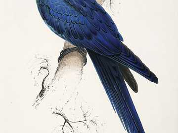 Blue modroara - Blue macaw [3], blue macaw [4] (Anodorhynchus leari) - a species of large bird from the parrot famil