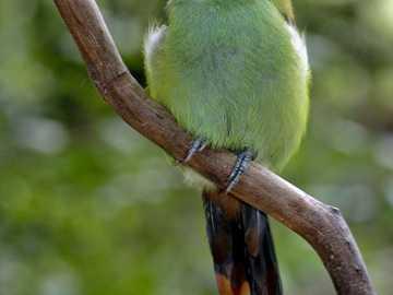 Smaragdgroene toekan - De Smaragdgroene Toekan [4] (Aulacorhynchus prasinus) - een soort kleine vogel uit de toekanfamilie