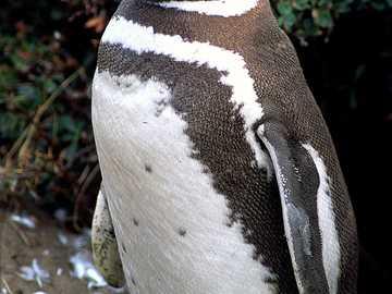Magelhaenpinguïn - Magelhaenpinguïn [4] (Spheniscus magellanicus) - een soort grote vogel uit de pinguïnfamilie (Sphe