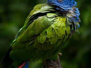 De blauwkoppion - Blauwkoppion [3] (Pionus menstruus) - een middelgrote vogelsoort uit de papegaaienfamilie (Psittacid