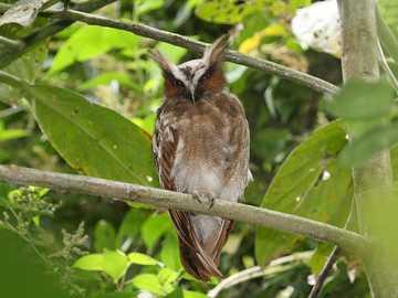 Kuif Oehoe - Tweekleurige Oehoe [5] (Lophostrix cristata) - een soort middelgrote vogel uit de bosuilfamilie (Str