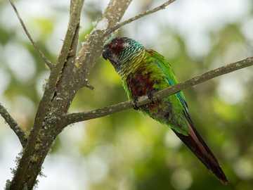 Kleurrijke roodharige - Rood roer (Pyrrhura picta) - een soort middelgrote vogel uit de papegaaienfamilie (Psittacidae). Het