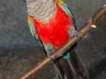 Roodbuikige roodharige - Roodbuikroodharige [3] (Pyrrhura perlata) - een middelgrote vogelsoort uit de papegaaienfamilie (Psi